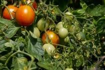 Huberts Beste ist eine mittelfrüh reifende Buschtomate mit einem süßlich, saftig und tomatigen Aroma.