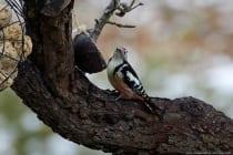 Der Buntspecht, auch als Trommler bekannt, kann man schon von weitem hören und manchmal kann man die schwarz-rot-weiß gefiederten Spechte auch an Bäumen beobachten.