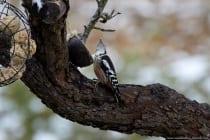 Buntspechte klettern meist geschickt an Baumstämmen hinauf, aber niemals mit dem Kopf nach unten. Sie klettern dann rückwärts. Buntspechte sind auch keine Flugkünstler und legen eher Kurzstrecken in einem wellenförmigen Flug zurück.