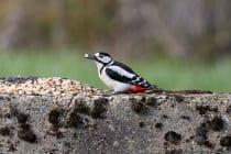 Das Männchen vom Buntspecht ist am roten Scheitel zu erkennen. Auf dem Bild ist der rote Scheitel am Hinterkopf gerade noch zu erkennen.[EOS5D Mark4 + EF100-400L IS II USM | ISO1600 | f5,6 | 1/1000s | 400mm]