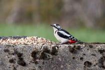 Der Buntspecht ist ein scheuer und schreckhafter Vogel. [EOS5D Mark4 + EF100-400L IS II USM | ISO1600 | f5,6 | 1/1000s | 400mm]