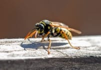 Mit weltweit 61 Arten sind die echten Wespen eine Unterart der Faltenwespen. Elf Arten der echten Wespen kommen in Mitteleuropa vor und werden oft mit der Hornisse verwechselt. Die Wespe benutzt zum Angriff und Verteidigung ihren Stachel, der keine Widerhaken wie bei einer Biene besitzt. Somit können Wespen mehrmals zustechen und ihr Gift in den Gegner einspritzen. Bei sterbenden und zerteilten Wespen ist der Stichreflex noch vorhanden. Die Wespe ist durch ihre Zudringlichkeit nicht gerne gesehen, besonders wenn Kuchen auf dem Tisch steht. Nahrung sollte man abdecken, denn Wespen können im ungünstigsten Fall Bakterien und Salmonellen auf die menschliche Nahrung übertragen.