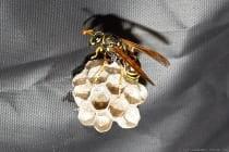 """Die Feldwespen unterscheiden sich von den mitteleuropäischen Faltenwespen nicht nur durch ihre sehr langen Beine, welche sie im trägen Flug auffallend nach unten hängen lassen. Sie sind friedfertig und verteidigen sich nur bei massiven Störungen. Bestimmungsmerkmale sind die orangen gefärbten Beine, sowie Fühler """"Antennen"""". Die Feldwespe, welche zur Familie der Faltenwespen gehört, ist deutlich schlanker als alle anderen Wespen. In Ruhestellung faltet die gallische Feldwespe ihre Vorderflügel in Längsrichtung."""