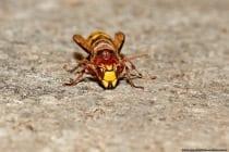 Die Stiche einer Hornisse mit wissenschaftlichem Namen Vespa crabro sind schmerzhaft, aber nicht giftiger als die einer Wespe, oder Biene. Die ausgesprochen friedfertigen Insekten greifen niemals grundlos an und sind scheuer als die Honigbiene.