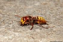Eine Arbeiterhornisse ist mit knapp 30 Millimetern deutlich größer als eine Wespe. Die Hornissenkönigin kommt auf eine Körpergröße von 40 Millimetern. Die Körpergröße ist ein Bestimmungsmerkmal einer Hornisse, dabei gibt es weitere Unterschiede am Kopf und Rumpf.