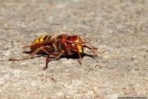 Die Hornisse kann meist aus sicherer Entfernung an der rot-braunen Färbung an Kopf und Rumpfabschnitt bestimmt werden.
