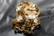 Das nicht besonders große Nest wird im Frühling meist von mehreren Jungköniginnen gegründet, welches aus maximal 150 Zellen bestehen kann. Die stärkste Königin frisst die Brut Ihrer Konkurrentinnen, bis diese sich als Arbeiterinnen untergeben. Das Nest wird dann immer weiter vergrößert, ist aber im Vergleich zu anderen Wespennester ein relativ kleines Nest mit maximal 150 Zellen.