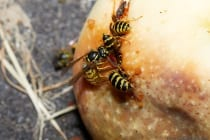 Wespen sind unberechenbar und aufdringlich. Schon eine einzelne Wespe kann ene ganze Menschengruppe am Esstisch im Freien in Panik versetzen.