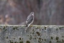 Der Sperber mit wissenschaftlichen Namen Accipiter nisus wird meist mit dem Habicht verwechselt, da diese beiden Greifvögel fast identisch Aussehen.