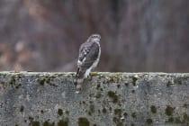 Sperber haben sich auf kleinere Vögel spezialisiert und jagen diese von einem Ansitz aus, mit einer pfeilschnellen und kurzen Verfolgungsjagd.