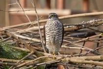 Sperber sind sehr ruhige Greifvögel und meist in der Brutzeit zu hören.