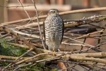 Bei Jungvögeln ist die Augenfarbe, Iris, hellgelb, bei erwachsenen Sperberweibchen dunkelgelb und bei den Männchen meist gelborange.
