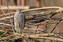 Am Brustgefieder kann man den Sperber vom Habicht unterscheiden, man muss dabei schon genauer hinschauen. Wenn die Greifvögel zu weit entfernt sind ist eine Bestimmung sehr schwierig.