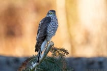 Der Sperber hält Ausschau von einer erhöhten Position und um ihm herum haben sich alle Kleinvögel versteckt. Eine absolute Ruhe ist eingekehrt. [EOS5D Mark4   ISO1250   f5,6   1/500s   400mm]