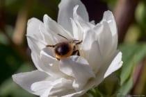 Die Biene steckt ihren Kopf ganz tief in die Blüte.