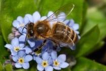 Zirka Mitte April summen die ersten Bienchen wieder bei wärmeren Tagestemperaturen. Auf dem Bild oben ist eine Biene Mitte April auf der Blume Vergissmeinnicht zu sehen. Fotografiert wurde mit einem 180mm Makroobjektiv mit manuellen Einstellungen und einem Blitz, welcher die Kurzzeitsynchronisation beherrscht.