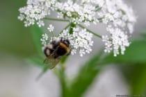 Eine Hummel gehört zu der Gattung der Biene und verfügt über einen Wehrstachel. Die Hummel kann stechen, allerdings kann sie ihren Stachel nicht aus eigener Kraft durch die Menschen- oder Tierhaut stechen. Entweder man tritt auf die Hummel, hält sie fest, oder sie muss mit voller Wucht gegen die Haut fliegen, damit sie stechen kann. Eine Hummel sticht sehr selten. Wenn eine Hummel sich oder ihr Nest als bedroht sieht, legt sie sich auf den Rücken und brummt. In allerletzter Instanz versucht die Hummel sich durch beißen und stechen zu wehren. Ein Hummelvolk, das in Europa nur einen Sommer überlebt, besteht aus zirka 100 bis 500 Insekten. Die Hummel hat in Europa, durch ihre Friedfertigkeit, einen besseren Ruf als die Biene, Wespe und Hornisse - Bumblebee searching for food.