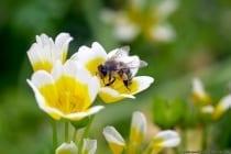 Biene auf Nahrungssuche. Summ summ summ und das Bienchen summt herum.