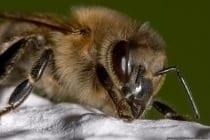 Eine Biene hat normalerweise einen relativ gleichmäßig bräunlichen Hinterleib.