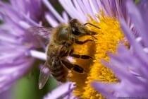 Die Biene kann meistens auch am bräunlichen Hinterleib erkannt werden.