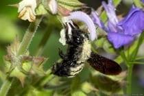 Die schwarze Holzbiene hat eine Körperlänge von zirka 3cm und ist standorttreu.