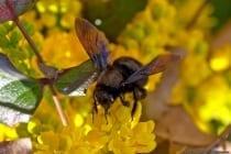Holzbienen ersetzen in Afrika die dort nicht vorkommende Hummel. In den wärmeren Gegenden in Mitteleuropa kommen nur drei Holzbienen-Arten vor, wobei die größte Holzbiene (Xylocopa) bis zu drei Zentimeter misst.