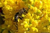 Eine Biene bei der Nahrungssuche und Nahrungsaufnahme im heimischen Garten. Bienen (Apiformes) werden weltweit auf eine Artengröße von 20.000 geschätzt, dabei leben zirka 500 Arten in Deutschland. Bienen besitzen einen Wehrstachel und setzen diesen nur in Bedrängnis ein.