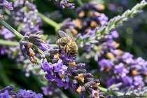 Bei der Rückkehr in den Bienenstock wird der Nektar von Rüssel zu Rüssel übertragen und dabei geschieht eine Wandlung. Bei der Übergabe des Nektars werden Drüsensekrete und keimtötende Stoffe hinzugefügt und der Nektar wird als halbreifer Honig in einer offenen Zelle eingelagert und getrocknet. Fächelnde Bienen sorgen für die Trocknung. Nachdem ein großer Teil des Wassrs in dem halbfertigen Honig verdunstet ist, wird die Zelle verschlossen.