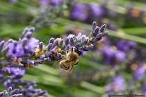 Wenn die Arbeiterinnen Nektar sammeln, dann wird dieser durch den Saugrüssel im Honigmagen der Biene kurzfristig eingelagert, bis Sie wieder im Bienennest einkehrt. Die Biene benötigt zirka 200 Blüten, bis der Honigmagen gefüllt ist. Während der Nektaraufnahme bestäubt sich die Biene mit den Blütenpollen und verstaut diesen an den Pollenkörbchen der Hinterbeine.