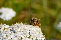 Zirka 560 Arten der Wildbiene sind in Deutschland heimisch. Es gibt Europaweit zirka 2500 Arten der Wildbiene. Die Wildbienen sind sehr vielfältig in Ihrem Aussehen, so können diese schwarz, schwarz-gelb oder rötlich-braun gefärbt sein. Es gibt Sie pelzig, oder in sehr wenig beharrtem Erscheinen.