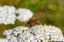 Honigbienen leben ausschließlich in Bienenstöcken und in diesem herrscht ein reges Treiben. Fast 50 Prozent der Wildbienen nisten sich unter der Erde ein, dabei werden auch gerne Gänge von anderen Insekten benutzt. Einige Wildbienen nisten auch in morschem Holz und in leeren Schneckengehäusen, welche als Brutkammern umgestaltet werden.