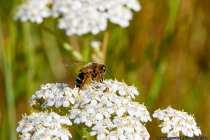 Die einzelne, nicht staatenbildene, Wildbiene entfernt sich maximal 500 Meter von Ihrem Nistplatz, von daher wird dieses in der Nähe von Nistmaterial und Nahrunsgquelle errichtet. Die Honigbiene hat einen Aktionsradius von zirka 7 Kilometer. Im Gegensatz zu der Honigbiene, stellt die Wildbiene keinen Honig her und verbraucht den Nektar direkt. Viele Wildbienenarten stehen auf der roten Liste.