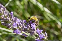 Der rotbraune Pelz ist ein Merkmal der Ackerhummel. Hummeln gehören zu den Bienen und die weibliche Art kann ebenfalls stechen. Hummeln, Hornissen und Wespen bevölkern das Nest nur ein Jahr und wird danach nicht wiederbesiedelt.