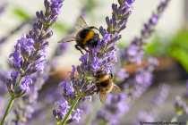 Aus 50 bis zu 600 Hautflügler, inklusive einer Königin, besteht ein Hummelvolk. Lediglich die begatteten Jungköniginnen überleben den Winter. Im Frühjahr sind diese auf sich gestellt mit der Gründung eines neuen Staates.