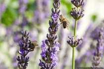 Die Wildbiene ist sehr wählerisch und sammelt Nektar an sehr wenigen Pflanzen, bis hin zu nur einer einzigen Pflanzenart. Der Stich der Wildbiene ist für den Menschen manchmal kaum spürbar und harmloser, als der einer Honigbiene.