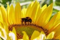 Wie die Bienen, leben die gemütlichen und pummeligen Hummeln, in großen Völkern (Familien). Laut Aerodynamik können Hummeln gar nicht fliegen, wie gut dass diese freundlichen Brummer das nicht wissen. Durch eine Art Standheizung ist die Hummel das erste Fluginsekt, welches sich im Frühjahr in die Lüfte erhebt. Ab einer Außentemperatur von zwei Grad Celsius können die Königinnen ihren Flug starten und ab sechs Grad Celsius besuchen die Arbeiterinnen die Blüten. Egal ob Hagel, oder bei Schnee, die unwettertaugliche Hummel verhindert einen totalen Ernteausfall auch bei ungünstigen Witterungsverhältnissen und bestäubt die Blüten. Bienen würden sich nie die Füßchen nass machen und benötigen wärmere Witterungsverhältnisse, deshalb ist die Hummel unersetzlich.