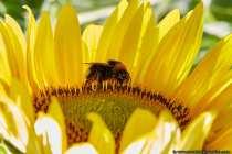 Nur wenn man eine Hummel extrem bedrängt wird sie sich wehren. Bei sehr extremer Bedrohung legt sich die Hummel stark brummend auf den Rücken und streckt Ihren winzigen Stachel in Richtung des Angreifers. Zieht sich der Angreifer nicht zurück, wird die Hummel stechen, dabei kann es auch vorkommen, dass die Hummel beißt. Nur die Königinnen und Arbeiterinnen haben einen Wehrstachel, denn Sie gehören zu den Wildbienen, auch wenn man es Ihnen nicht ansieht. Die Drohnen, Männchen, haben keinen Stachel, sind aber auch in der Minderheit. Die kleinen Brummer können Ihren Stachel, im Gegensatz zur Biene, wieder zurückziehen. Ein 18 Stunden Arbeitstag ist für eine Arbeiterin keine Seltenheit.