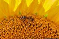 Die älteste Biene wurde in einem Bernstein gefunden, welcher auf ein Alter von 75 bis 90 Millionen Jahre datiert wurde. Seit einigen Jahren wird ein zunehmendes Bienensterben beobachtet, wovon ganze Bienenvölker mitten in der Saison verschwinden. Die Generalversammlung der Vereinten Nationen erklärte in einer Tagung den 20. Mai zum Welttag der Bienen.
