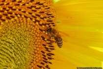 Das Bienchen