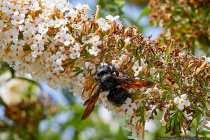 Xylocopa violacea. Die Wildbiene wird Holzbiene, blaue Holzbiene, große blaue Holzbiene, oder auch violette Holzbiene genannt.