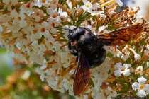 In stundenlanger Arbeit nagen die Holzbienen in Totholz lange Gänge, um darin eine Nistzelle anzulegen. Für den Nachwuchs wird Pollenmasse hinterlegt. Im Juli schlüpft die nächste Holzbienengeneration. Die Holzbiene mag pollenreiche Blüten.