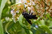 Die Flügel der Holzbiene sind irisierend und erscheinen bei richtigem Lichteinfall von blau bis violett schimmernd. Irisieren ist ein optisches Phänomen, wobei eine Fläche, je nach Perspektive, in einer anderen Farbe erscheint. Auffällig ist der kräftig schwarze Körper. Die Biene summt wie die Hummel gemütlich durch die Lüfte und ist eine beeindruckende Erscheinung.