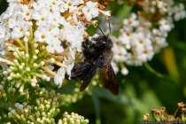 """Vier Holzbienen konnten dieses Jahr -25.082019- zum ersten Mal an unserem Schmetterlingsflieder in Weikersheim beobachtet werden, Ein abgestorbener Baum """"Totholz"""" auf unserem Grundstück hilft hoffentlich den seltenen Holzbienen, sich weiter zu vermehren."""