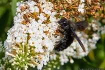 Die Holzbiene gehört zu den Echten Bienen und kann dem Verhalten der Hummel zugeordnet werden. Sie summt wie eine Hummel gemütlich durch die Lüfte und auch Ihr Stechverhalten ist zurückhaltend. Nur in absolut größter Gefahr sticht die Holzbiene.