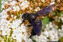 Die Holzbiene ist die größte heimische Wildbienenart und wird meistens, bezüglich Ihrer Größe, für eine Hummel gehalten.