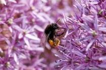 Die Hummel kann mit ihrem langen Saugrüssel den Nektar vieler tiefkelchigen Blüten sammeln. Der Nektar wird im Magen gesammelt und im Nest herausgewürgt. Die Hummel hat eine beeindruckende Art Pollen zu sammeln. Sie hängt sich an eine Blüte und erzeugt mit Ihrem Flügelschlag Vibrationen und dabei werden die gelösten Pollenkörner in den Haaren der Hummel aufgenommen. Am Ende werden die Pollenkörner im Flug in die Pollenkörbchen gebürstet, welche sich an den hinteren Beinen befinden. Der Pollentransport geschieht generell am hinteren Beinpaar.