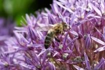 Ein Drittel unserer Nahrung ist abhängig von der Bestäubung der Bienen, Wildbienen, Hummeln und anderen Insekten.