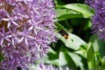 Hummeln gehören zu der Familie der echten Bienen (Apidae) und gehören zur Ordnung der Hautflügler.