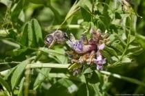 Wildbiene Langhornbiene