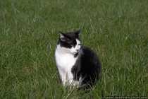 CRW9770-Katze-auf-der-Wiese
